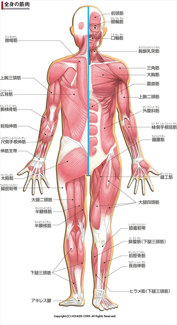 人間の筋肉の細部を図解した人体図