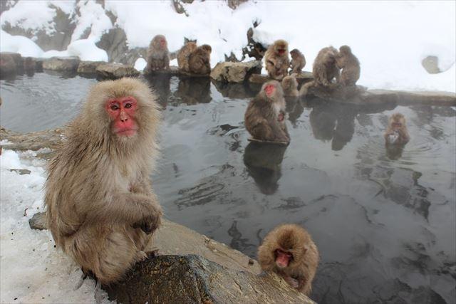 お風呂に入る猿たちの画像